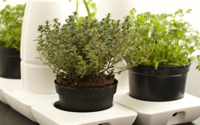 Plant Profile: Thyme